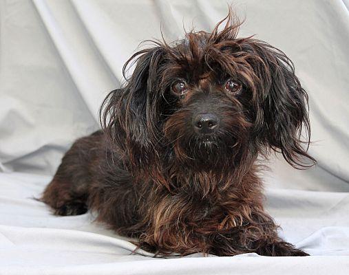 Los Angeles Ca Yorkie Yorkshire Terrier Meet Elvira 8lbs A