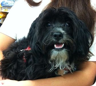 Studio City Ca Yorkie Yorkshire Terrier Meet Brody A Pet For