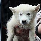 Adopt A Pet :: Eskie/Husky Storm