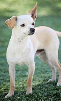 Chihuahua/Greyhound Mix Dog for adoption in Scottsdale, Arizona - Pierre