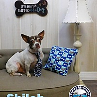 Adopt A Pet :: Shiloh - Arcadia, FL
