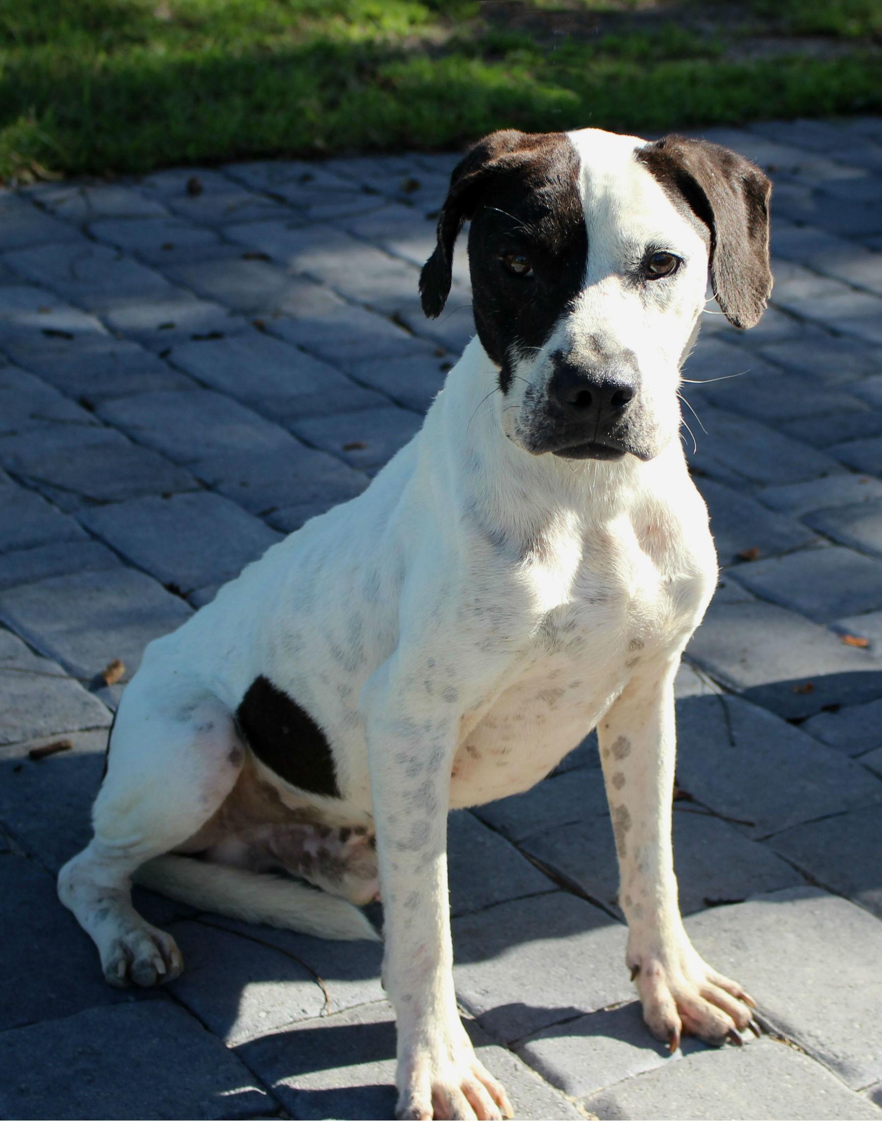 Wilmington, NC - English Pointer. Meet A366709 a Dog for Adoption.