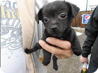 Yakima, WA - Boston Terrier  Meet Sugar a Pet for Adoption