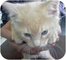 Domestic Shorthair Kitten for adoption in West Warwick, Rhode Island - Charlie(PENDING)