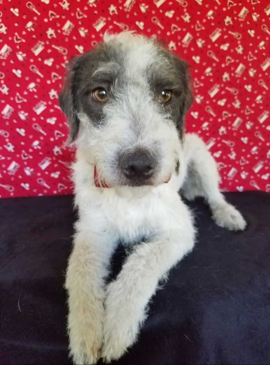 Pluckemin, NJ - Wirehaired Fox Terrier. Meet Kaiser a Dog for Adoption.