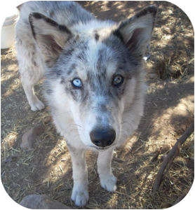 Santa Fe, NM - Australian Shepherd  Meet Kristian a Pet for