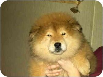 Lyman Sc Chow Chow Meet Chuskyadopted A Pet For Adoption