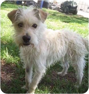 Puppyfinder.com: Scottish Terrier puppies for sale near me ...