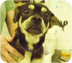 Pug/Beagle Mix Dog for adoption in San Clemente, California - RASCAL