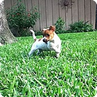 Adopt A Pet :: LITTLE LOUIE - Bryan, TX