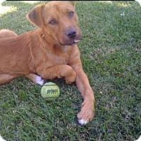 Adopt A Pet :: Iggy - Sacramento, CA