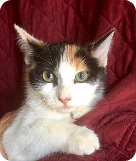 Domestic Shorthair Kitten for adoption in Santa Monica, California - JILL