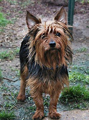 Shreveport La Yorkie Yorkshire Terrier Meet Rusty A Pet For