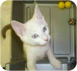 Domestic Shorthair Kitten for adoption in Augusta, Georgia - Cariton