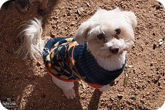 Lhasa Apso/Shih Tzu Mix Dog for adoption in Holliston, Massachusetts - Yin