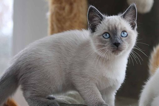 gainesville va siamese meet siamese kittens a cat for adoption