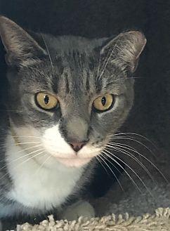 Adopt A Pet :: Sage  - Devon, PA
