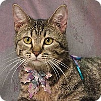 Domestic Shorthair Cat for adoption in Kerrville, Texas - Felicia