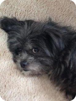 Plainfield Il Shih Tzu Meet Willow A Pet For Adoption
