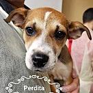 Adopt A Pet :: Perdita