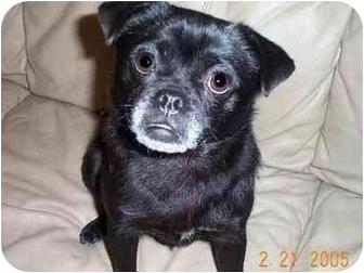 League city tx pug meet puggy sue a dog for adoption meet puggy sue a dog for adoption altavistaventures Images