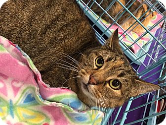 Domestic Shorthair Cat for adoption in Mansfield, Texas - Hannah Banana