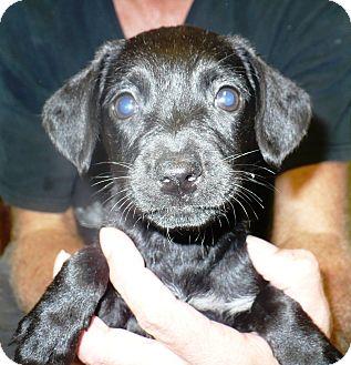 Dachshund/Labrador Retriever Mix Puppy for adoption in Eastpoint, Florida - Moranda