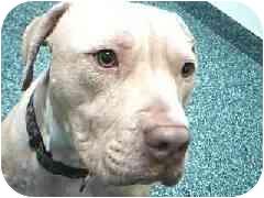 Pit Bull Terrier Mix Dog for adoption in Hawthorne, California - Tucker