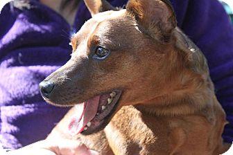 Miniature Pinscher Mix Dog for adoption in Grass Valley, California - Vinnie