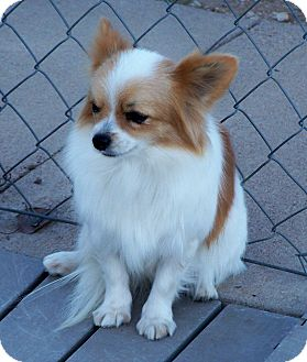 pomeranian papillon san angelo tx pomeranian meet prissy a pet for adoption 9766