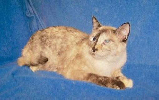 Colorado Springs, CO - Siamese  Meet Tasha a Pet for Adoption