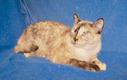 Siamese Cat Breeders Colorado