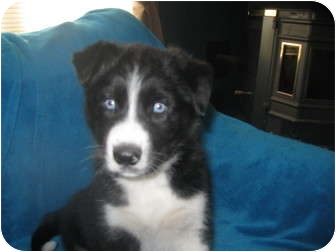 Wauseon Oh Siberian Husky Meet Smokey A Pet For Adoption
