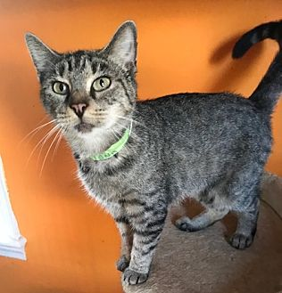 Adopt A Pet :: Fiona  - Devon, PA