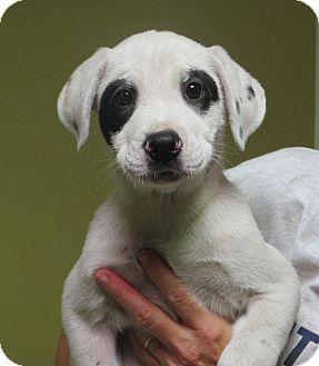 Dalmatian Lab Mix Puppies For Sale - Goldenacresdogs com