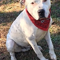 Adopt A Pet :: Harley - Jefferson, TX