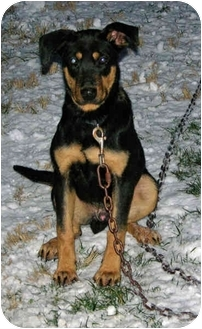Moon Township Pa German Shepherd Dog Meet Pup A Pet For Adoption