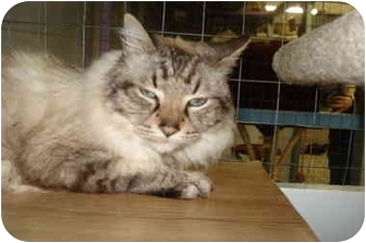 Mission Bc Domestic Shorthair Meet Hawkeye A Pet For