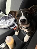 Adopt a Pet :: Luna - Honolulu, HI -  Terrier (Unknown Type, Small)/Chihuahua Mix