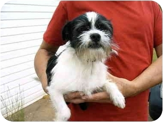 Charleston, SC - Shih Tzu  Meet Ziggy a Pet for Adoption