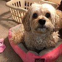 Bichon Frise Puppies for Sale in Ohio - Adoptapet com