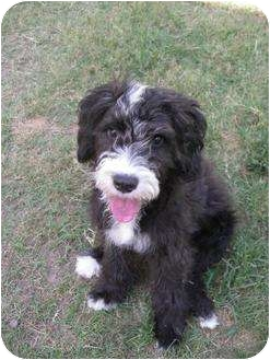 New Ord Ct Portuguese Water Dog