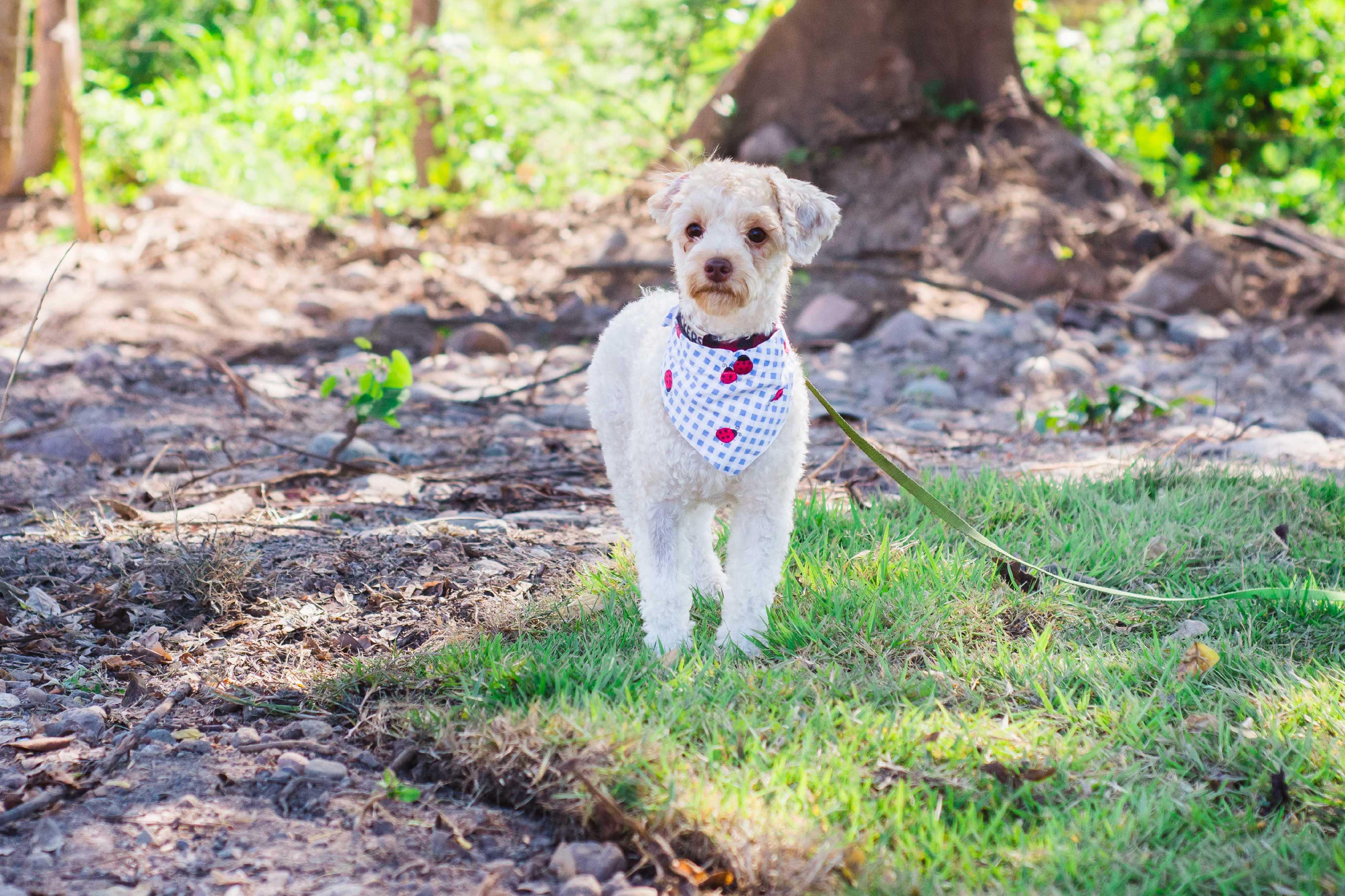Edmonton Ab Miniature Poodle Meet Crackers A Pet For