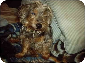 Silky Terrier Dog for adoption in Poland, Indiana - RIGBY