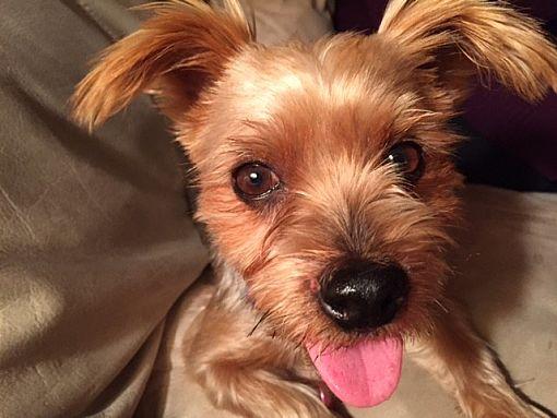 Richmond, VA - Yorkie, Yorkshire Terrier  Meet Jazzy a Dog