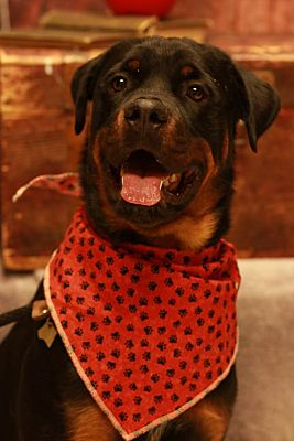 Twin Falls Id Rottweiler Meet Draco A Pet For Adoption
