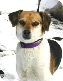 Jack Russell Terrier/Beagle Mix Dog for adoption in Ladysmith, Wisconsin - Bandit