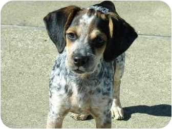 Hendersonville Tn Beagle Meet Lucy Adopted A Pet For Adoption