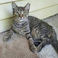 Domestic Shorthair Cat for adoption in Virginia Beach, Virginia - Delilah