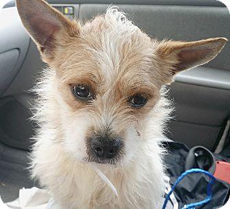 Boulder Co Border Terrier Meet Banjo Adoption Pending A Pet For